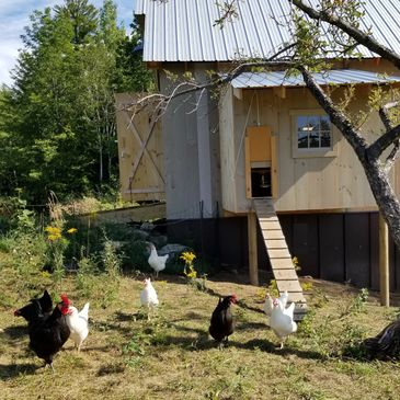 chicken coop and chickens on the farm