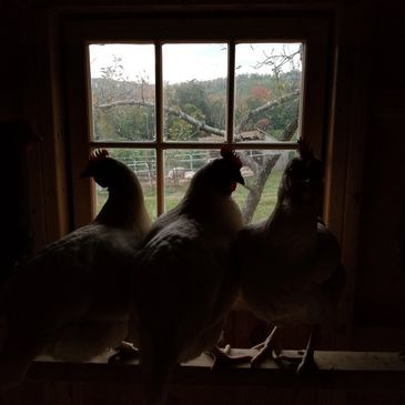 chickens on the roost