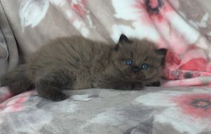 seal sepia ragdoll cat,ragdolls cats missouri, ragdoll kittens missouri,ragdoll kittens ohio,cat