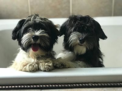 Rose Glen North Dakota ⁓ Try These Havanese Puppy Breeders