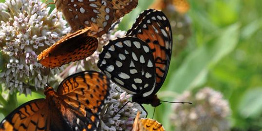 Regal and Great Spangled Fritillaries