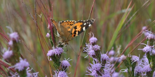 Painted Lady Butterfly on Liatris