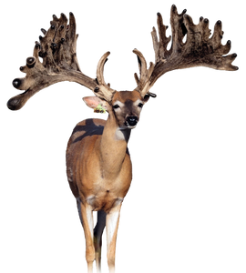 Apollo Breeder Buck at The Swamp Whitetails