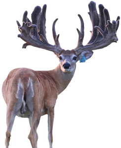 Major League Breeder Buck at The Swamp Whitetails