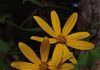 Woodland sunflower (Helianths divaricatus) blooming in July.  Photo: Fritz Flohr Reynolds/Creative Commons Attribution-Share Alike 3.0 license.