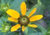 "{""blocks"":[{""key"":""f7qg5"",""text"":""Native brown-eyed Susan (Rudbeckia triloba). July 23, 2019/Virginia N. Sherry"",""type"":""unstyled"",""depth"":0,""inlineStyleRanges"":[],""entityRanges"":[],""data"":{}},{""key"":""3vshd"",""text"":"" "",""type"":""unstyled"",""depth"":0,""inlineStyleRanges"":[],""entityRanges"":[{""offset"":0,""length"":1,""key"":0}],""data"":{}}],""entityMap"":{""0"":{""type"":""LINK"",""mutability"":""MUTABLE"",""data"":{""href"":""https://www.facebook.com/photo.php?fbid=10218131016480518&set=a.4514298329147&type=3&theater#"",""url"":""https://www.facebook.com/photo.php?fbid=10218131016480518&set=a.4514298329147&type=3&theater#""}}}}"