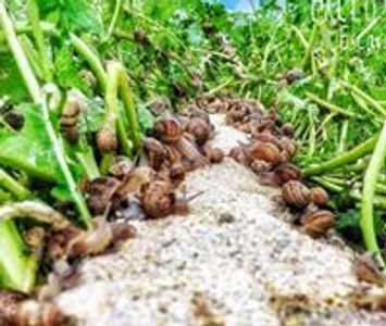 Snails eating snail meal on a snail farm in Ireland. Snail for export. Free range. Learn about snail