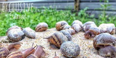 Snail farm Ireland Exclusive Escargot Slow farm Snail farming courses Learn about snail farms breed