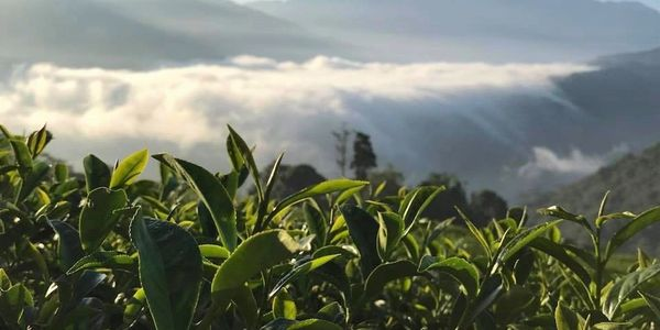 The Wild Tea Company - Natural tea farm