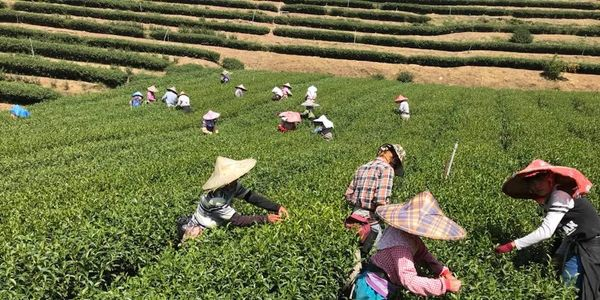 The Wild Tea Company - Tea Harvesting