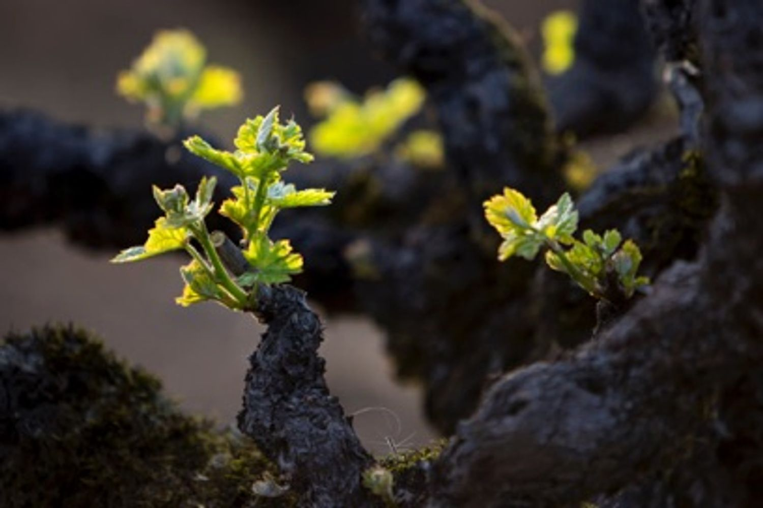 A stage of annual vine development during which small shoots emerge from the vine buds in the spring