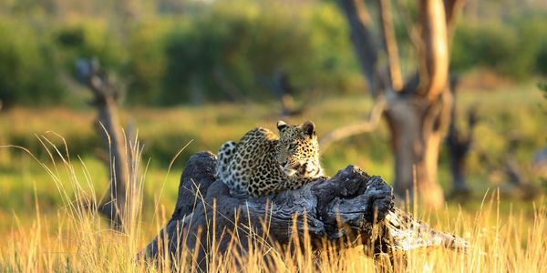 Leopard in the morning light at Khwai Leadwood Camp, Africn Bush Camps
