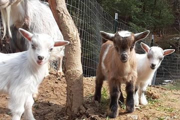 Blue eyed Nigerian Dwarf Goats and kids outside in the pasture