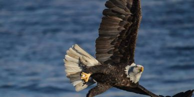 A bald eagle catching a fish