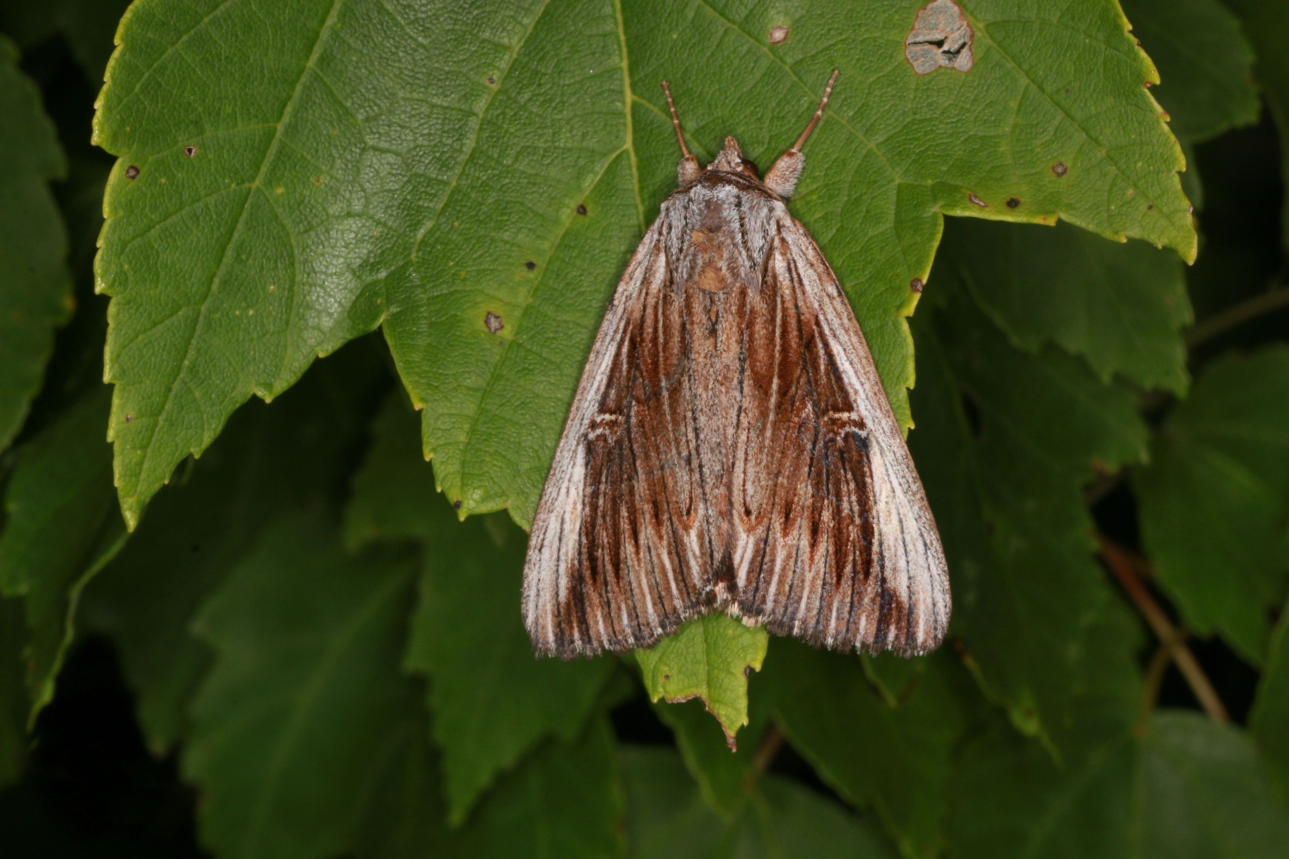 The Pine Barrens Underwing (Catocala herodias gerhardi)
