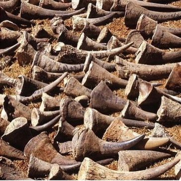 Rhino Horns Seized from Criminal Poaching Activities