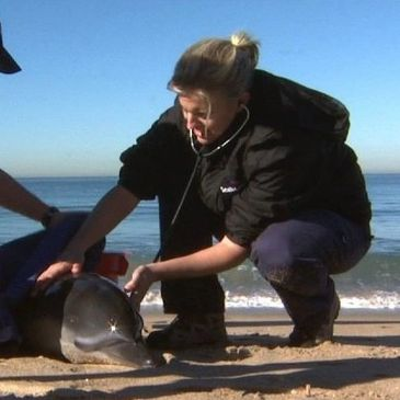 Claire Simeone responds to stranded dolphin.