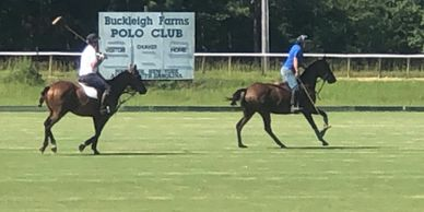 polo horse for sale polo pony for sale polo horses  polo  horses for sale polocrosse