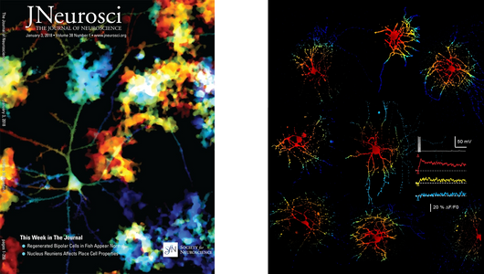 J Neurosci review article cover, and Cell Reports article artistic illustration image