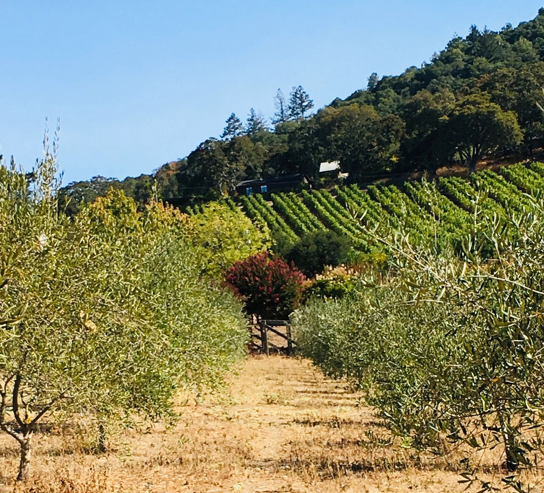 Olive orchard at Pallettoni Ranch