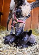 On April 30th of this year we anxiously awaited Ava's delivery, she had lost 3 calves prior, 2 with