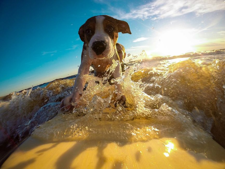 Go Surfing With The Dog!