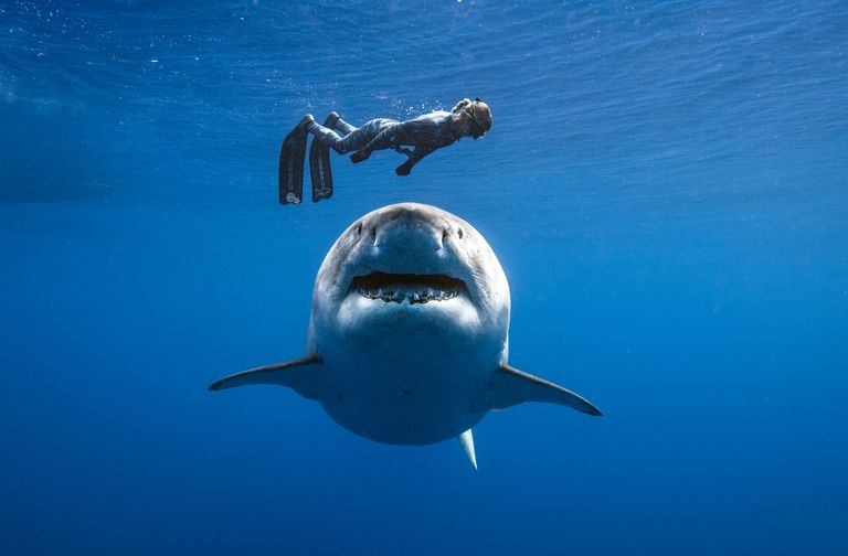 Ocean Ramsey with Deep Blue the largest great White sharks in the world diving together in Hawaii.