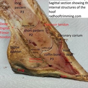 Dissection of hoof sagittal section internal structures of hoof labled