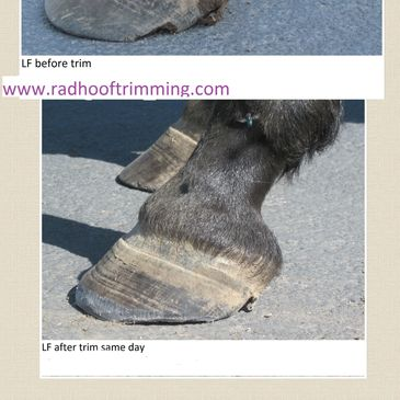 Hoof with laminitis