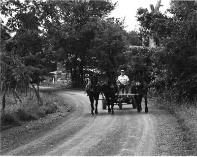Jerry De Gennaro driving a 3 mule hitch , Indian Fields Mule Farm, Groesbeck Rd , Feura Bush, NY