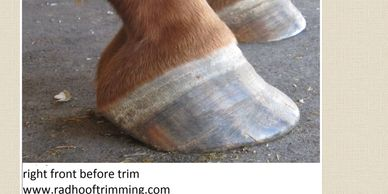 laminitic hoof in recovery
