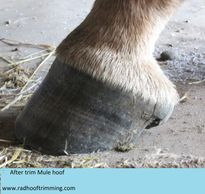 mule hoof lateral view