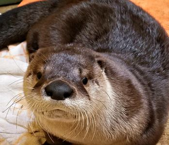 "Meet ""Oscar"" the River otter"