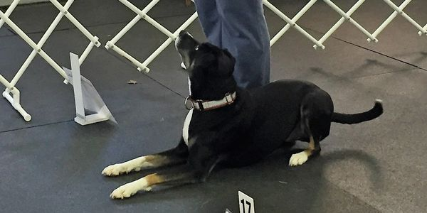 AKC Rally Obedience group class - Kona lays down on cue
