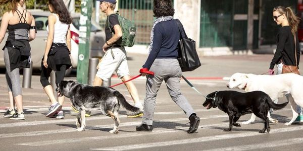 AKC Urban Canine (CGCU) Crossing the street skill.