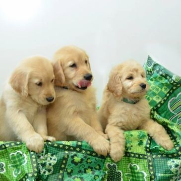 Cheyenne Farm Kennel - Dogs, Puppies, Golden Retriever, Dogs
