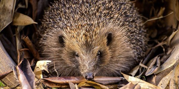 'Lydia' Hedgehog on release day. Cas K Jackson Photography