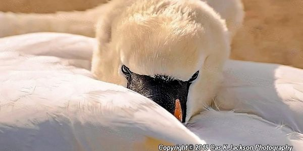 Mute Swan  Cas K Jackson Photography