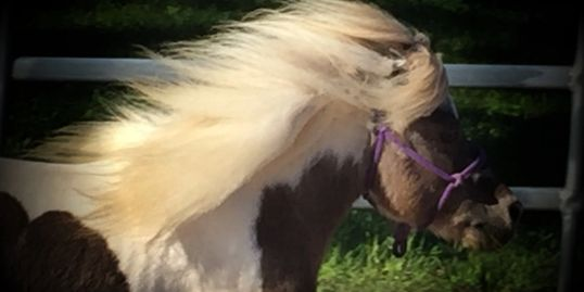 Mini horse for sale