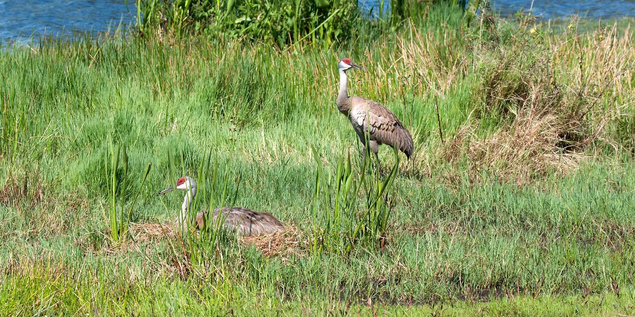 Sandhill cranes: one adult on nesting, other adult near nest