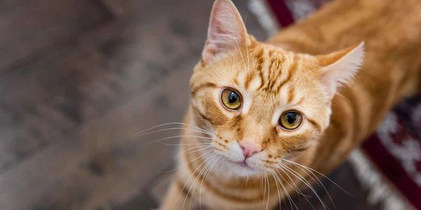 Close-up of an orange tabby cat named Mikah, the boss