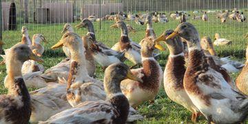 Ducks   Willow Brook Water Fowl & Fiber