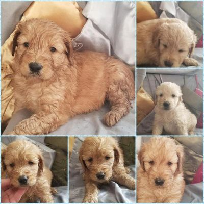 gorgeous goldendoodle puppies