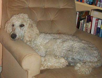 small standard poodle