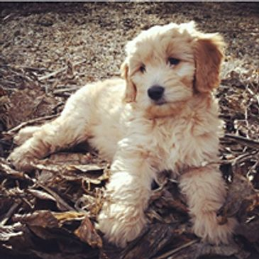 goldendoodle puppy from golden doodle new york