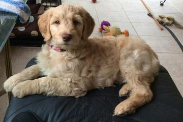 mini goldendodole, goldendoodles,