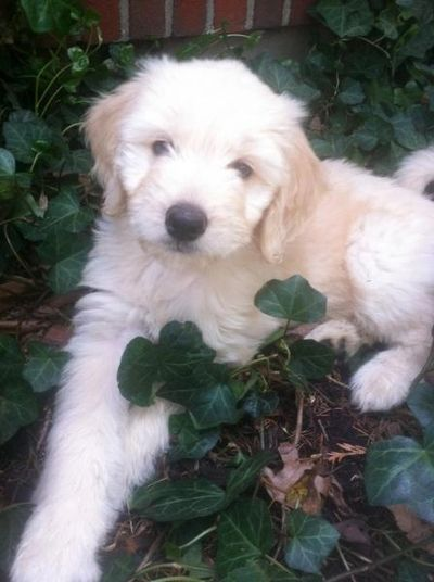 gorgeous goldendoodle puppy  www.goldendoodlesny.com Golden Retrieverss & GoldenDoodles in NY