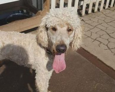 small standard male poodle