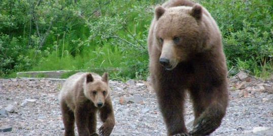 Alaskan Coastal Brown Bear & her cub