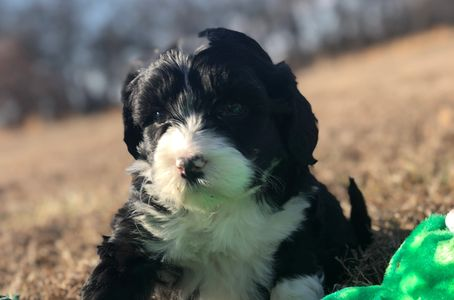 Portuguese Water Dog puppies, kansaspwd